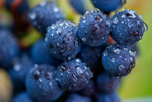 web-Oregon-Wine-Grape-Harvest-04